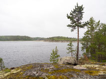 Pino su un lago del Nord Fotografia Stock