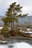 Pino su una costa gelida rocciosa Fotografie Stock