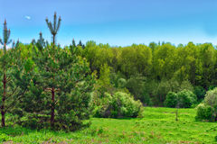 Pino sul prato inglese nella foresta sulla collina o Fotografia Stock