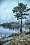 Pino sulla riva del lago di inverno Fotografie Stock Libere da Diritti