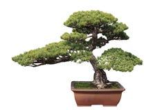 Pino verde de los bonsais foto de archivo