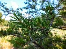 Pino verde dei ramoscelli Immagine Stock Libera da Diritti