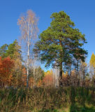 Pino y abedul en el otoño Fotos de archivo libres de regalías