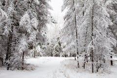 Pino y abedul en la nieve Fotografía de archivo libre de regalías