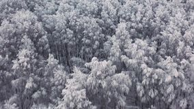 Pino y abetos congelados aéreos en la nieve en invierno Muchos árboles, madera Opinión aérea del bosque grueso Abejón del helicóp almacen de video