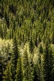 Pino y Aspen Trees imperecederos - bosque de la montaña Imagen de archivo
