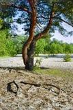Pino y raíces Fotografía de archivo