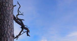 Pino y rama secada contra el fondo un cielo azul claro L Imagen de archivo libre de regalías