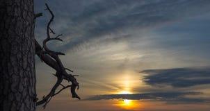 Pino y rama secada en fondo del cielo de la puesta del sol Letonia, Riga Imagen de archivo libre de regalías