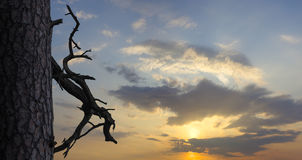 Pino y rama secada en fondo del cielo de la puesta del sol Letonia, Riga Fotos de archivo libres de regalías