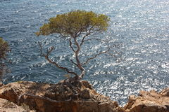 Pinos al lado del mar Imagen de archivo libre de regalías