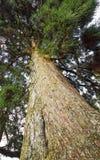 Pinos altos Imagenes de archivo