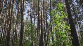 Pinos altos en el bosque almacen de metraje de vídeo