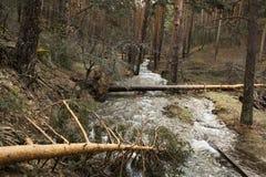Pinos caidos sobre el río en las montañas de Segovia Vendaval, tornado Imagen de archivo libre de regalías