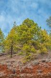 Pinos canarios, canariensis del pinus en Corona Forestal Nature Imagen de archivo