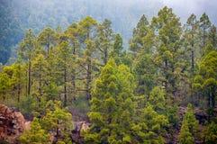 Pinos canarios, canariensis del pinus en Corona Forestal Nature Fotos de archivo libres de regalías