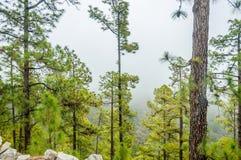 Pinos canarios, canariensis del pinus en Corona Forestal Nature Imágenes de archivo libres de regalías