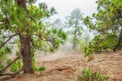 Pinos canarios, canariensis del pinus en Corona Forestal Nature Imagenes de archivo
