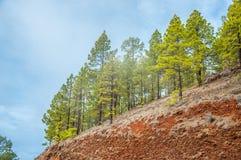 Pinos canarios, canariensis del pinus en Corona Forestal Nature Fotografía de archivo