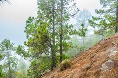 Pinos canarios, canariensis del pinus en Corona Forestal Nature Foto de archivo