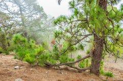 Pinos canarios, canariensis del pinus en Corona Forestal Nature Fotografía de archivo libre de regalías