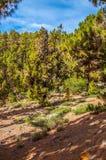 Pinos canarios, canariensis del pinus en Corona Forestal Nature Foto de archivo libre de regalías