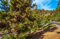 Pinos canarios, canariensis del pinus en Corona Forestal Nature Fotos de archivo