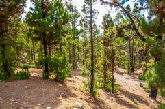 Pinos canarios, canariensis del pinus en Corona Forestal Nature Imagen de archivo libre de regalías