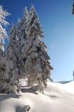 Pinos com neve fotos de stock