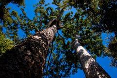 Pinos de Kauri gemelos (Agathis robusta) Fotografía de archivo libre de regalías