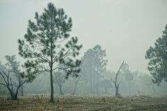 Pinos de la Florida en humo durante quemadura controlada Fotografía de archivo