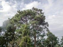 Pinos de la niebla de la trayectoria de los troncos del árbol forestal fotografía de archivo