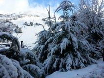 Pinos de la nieve Fotografía de archivo