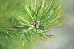 Pinos de la primavera Imagen de archivo