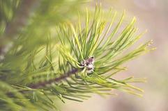 Pinos de la primavera foto de archivo libre de regalías