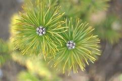 Pinos de la primavera fotografía de archivo