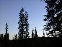 Pinos de Lodgepole en la puesta del sol Foto de archivo