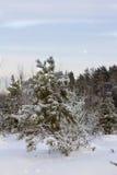 Pinos de montaña enana Fotos de archivo libres de regalías