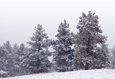Pinos de montaña Nevado en una ladera imagen de archivo