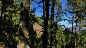 Pinos de mudanza en el bosque 3 almacen de metraje de vídeo