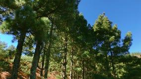 Pinos de mudanza en el bosque 4 almacen de video