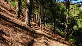 Pinos de mudanza en el bosque 4 almacen de metraje de vídeo