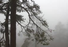 Pinos de Yosemite adentro en invierno brumoso Imágenes de archivo libres de regalías