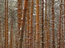 Pinos del invierno. Fotografía de archivo