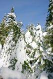Pinos del invierno de Backcountry Imagenes de archivo