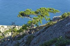Pinos del residuo en las rocas costeras contra el mar Imagen de archivo libre de regalías