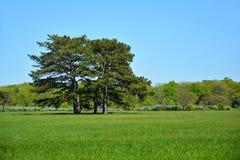 Pinos en el parque de la primavera €œAskania de la reserva de la biosfera de Falz-Fein Imagen de archivo libre de regalías