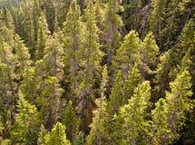 Pinos en las montañas rocosas canadienses Fotografía de archivo libre de regalías