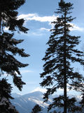 Pinos en montañas Imágenes de archivo libres de regalías