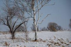Pinos en una arboleda/árboles del abedul contra un cielo azul/ Imagenes de archivo